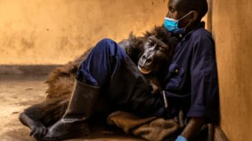 ndakazi famous gorilla dies
